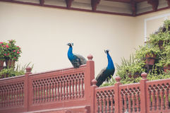Peacocks Stock Photography