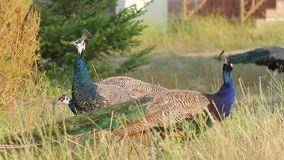 Peacocks in the wild. stock footage