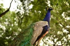 Peacok στοκ εικόνα με δικαίωμα ελεύθερης χρήσης