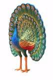 peacook Стоковая Фотография RF