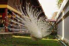 Peacook. Animal bird white life cute royalty free stock photography
