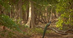 Peacoxk bonito que senta-se em uma árvore Imagens de Stock Royalty Free