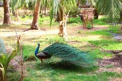 Peafowl στη φύση Στοκ Εικόνες