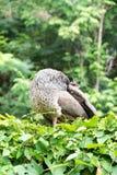 peafowl Резервируют павлина термине правильно для мужчины;  Стоковые Фото