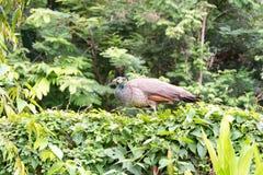 peafowl Резервируют павлина термине правильно для мужчины;  Стоковая Фотография RF