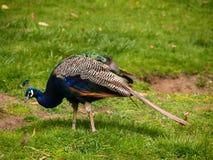 Peafowl Fotografia Stock Libera da Diritti