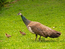 Peafowl Stock Image