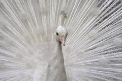 Peafowl Stock Photo