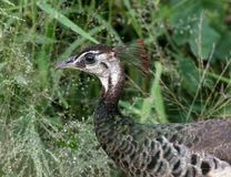 peafowl images stock