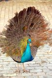 Peafowl Stock Photo