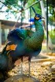 peafowl στοκ φωτογραφία με δικαίωμα ελεύθερης χρήσης