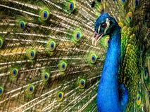 peafowl images libres de droits