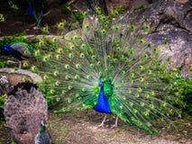peafowl photos libres de droits