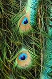 Peafowl Stockfoto