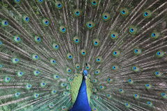 Peafowl Stockfoto