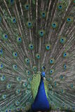 Peafowl. With colorful feather background Royalty Free Stock Images