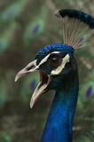 peafowl Obraz Royalty Free