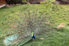 Peafowl imagen de archivo
