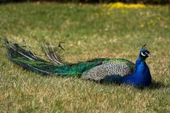 Peafowl Foto de Stock Royalty Free