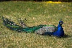 Peafowl Royalty Free Stock Photo