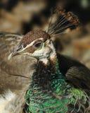 Peafowl Stockfotos