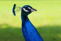 Peafowl Royaltyfri Bild
