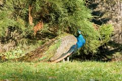 Peafowl. Royalty Free Stock Photography