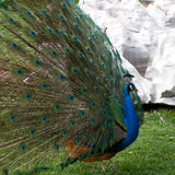 Peafowl fotografia de stock royalty free