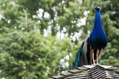 peafowl Стоковые Фото