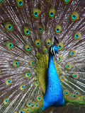 Peafowl Stock Photography