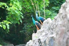 peafowl Fotografia Stock