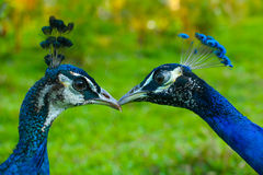 peafowl Стоковое Фото