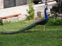 peafowl Стоковые Изображения