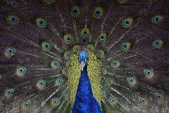 peafowl Fotografia Royalty Free