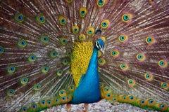 Peafowl Stock Fotografie