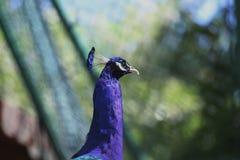 peafowl Στοκ Φωτογραφίες