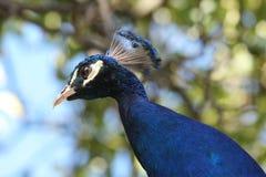 Peafowl, Royalty Free Stock Image