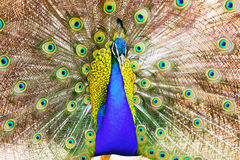 Peafowl with beautiful feather Royalty Free Stock Photo