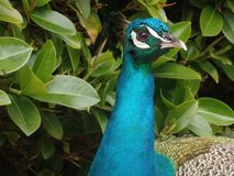 Peafowl, Bird, Beak, Galliformes Royalty Free Stock Image