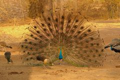 Peafowl bird is dancing in forest royalty free stock images
