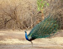 Peafowl, Bird, Fauna, Galliformes Royalty Free Stock Photos