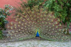 Peafowl, Bird, Galliformes, Feather Royalty Free Stock Images
