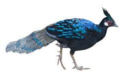 Peafowl bird isolated Stock Image
