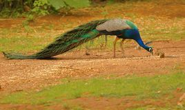 Peafowl bird. Peacock bird eating food in the forest. peacock is national bird of India. nature has given this bird exquisite beauty. the beauty of this bird is stock images
