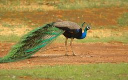 Peafowl bird. Peacock bird walking in the forest. peacock is the national bird of India. nature has given this bird exquisite beauty. the beauty of this bird is royalty free stock photos
