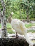 Peafowl blanco Imágenes de archivo libres de regalías