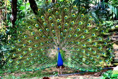 Peafowl bleu indien Images stock
