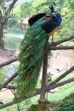 Peafowl bleu indien Images libres de droits