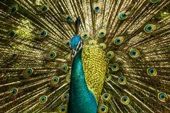 Peafowl blu indiano Immagine Stock Libera da Diritti