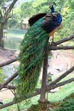 Peafowl blu indiano Immagini Stock Libere da Diritti